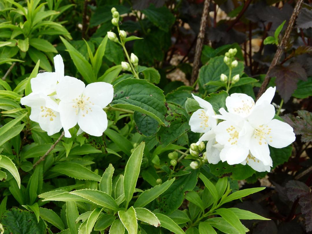 Philadelphus coronarius seringat des jardins p pini re for Site de vente de plantes en ligne