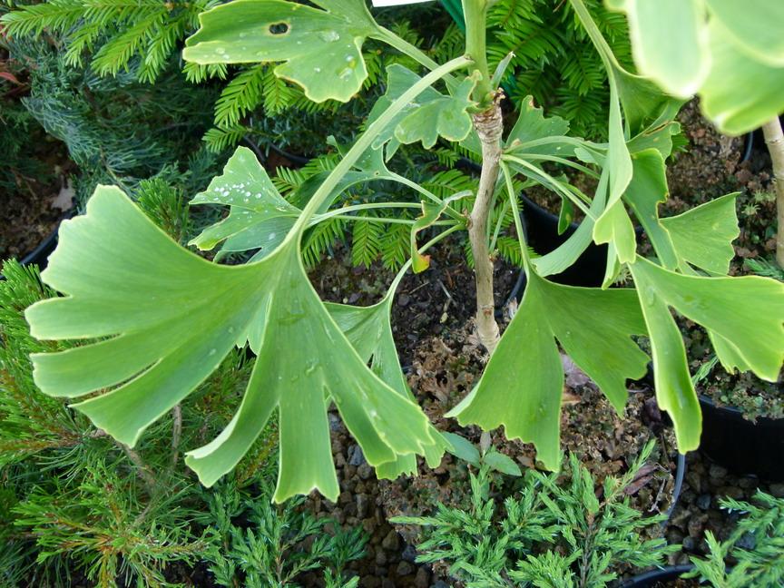 Ginkgo biloba arbre aux 40 cus p pini re en ligne de for Commande de plantes en ligne