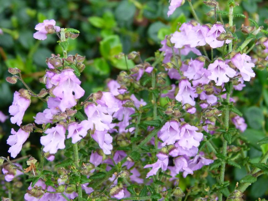 Prostanthera la provence prostanthera la provence for Site de vente de plantes en ligne