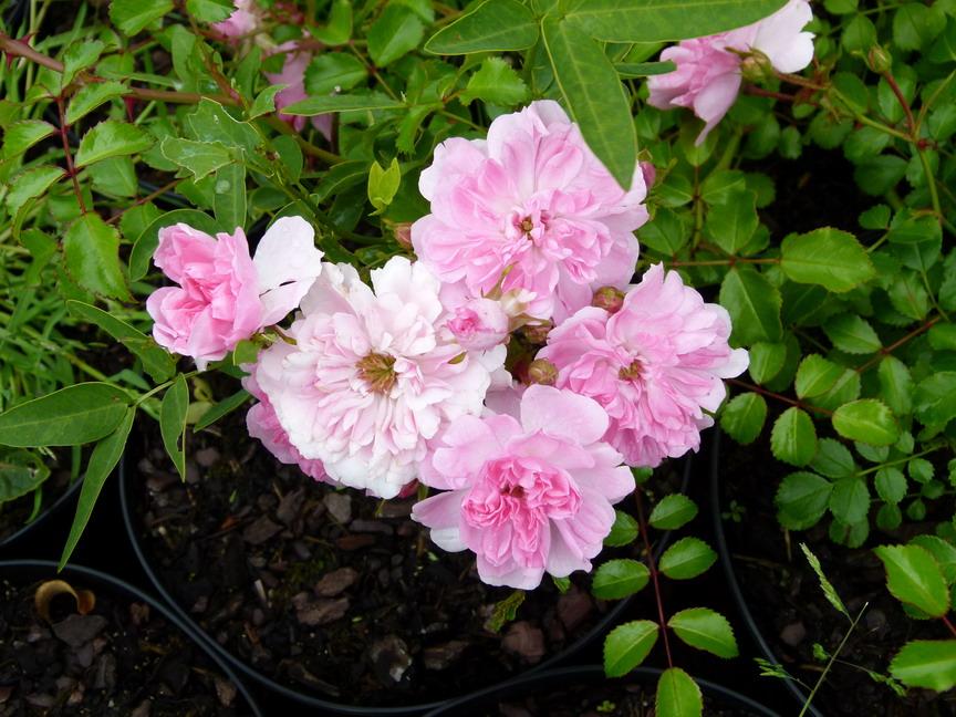 Rosa x pablito rosier paysager pablito p pini re en for Commande de plantes en ligne