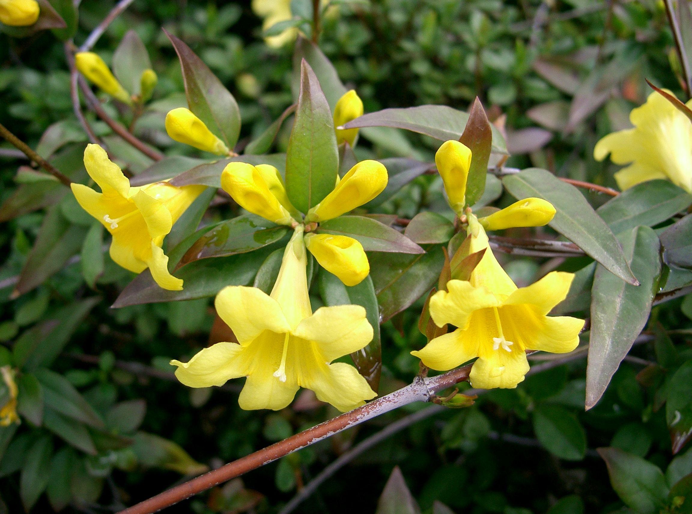 Plantes vari es plantes grimpantes et palisser floraison jaune p pini re en ligne de - Jasmin de virginie etoile ...