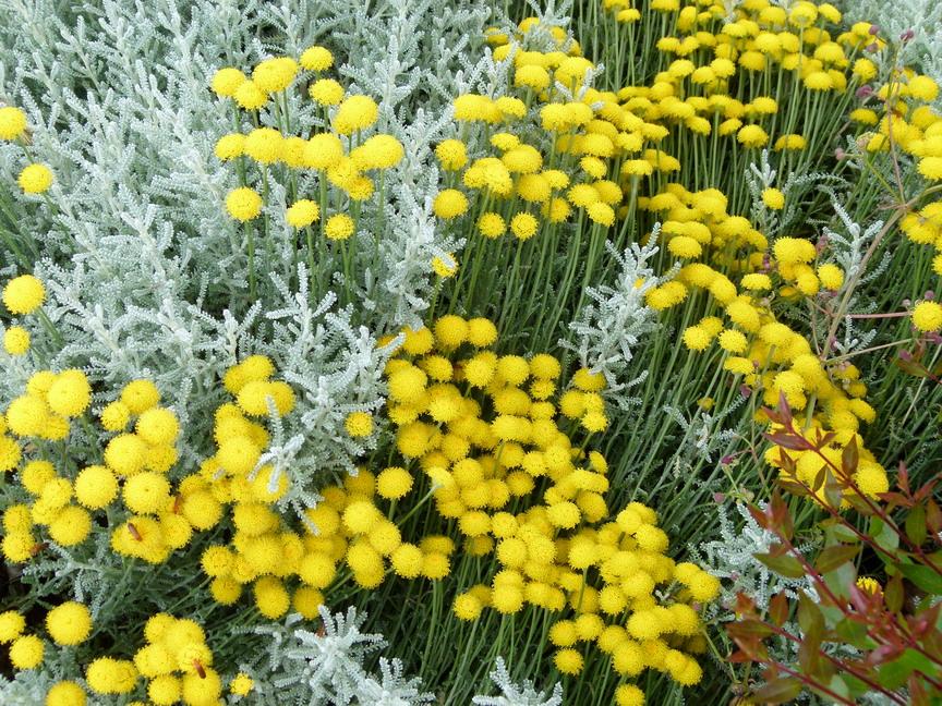 Santolina chamaecyparisus santoline chamaecyparisus for Site de vente de plantes en ligne