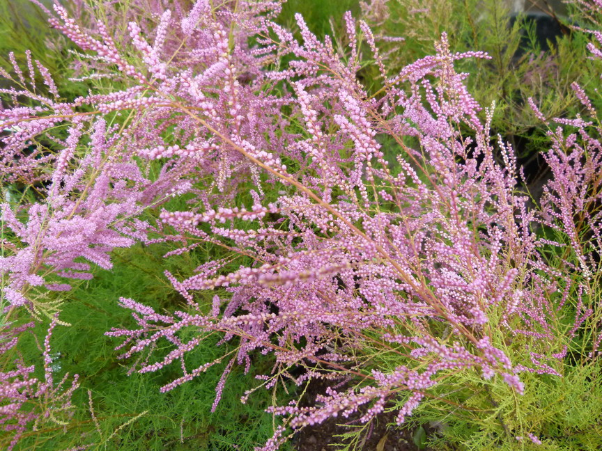 Tamarix ramosissima pink cascade tamaris d 39 t pink for Site de plante en ligne