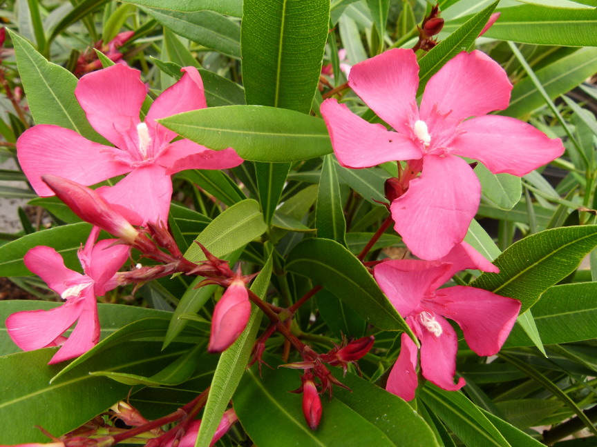 Nerium oleander italia laurier rose italia p pini re for Commande de plantes
