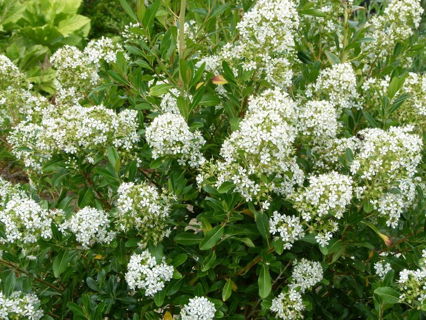 Escallonia bifida floraison estivale for Commande de plantes en ligne