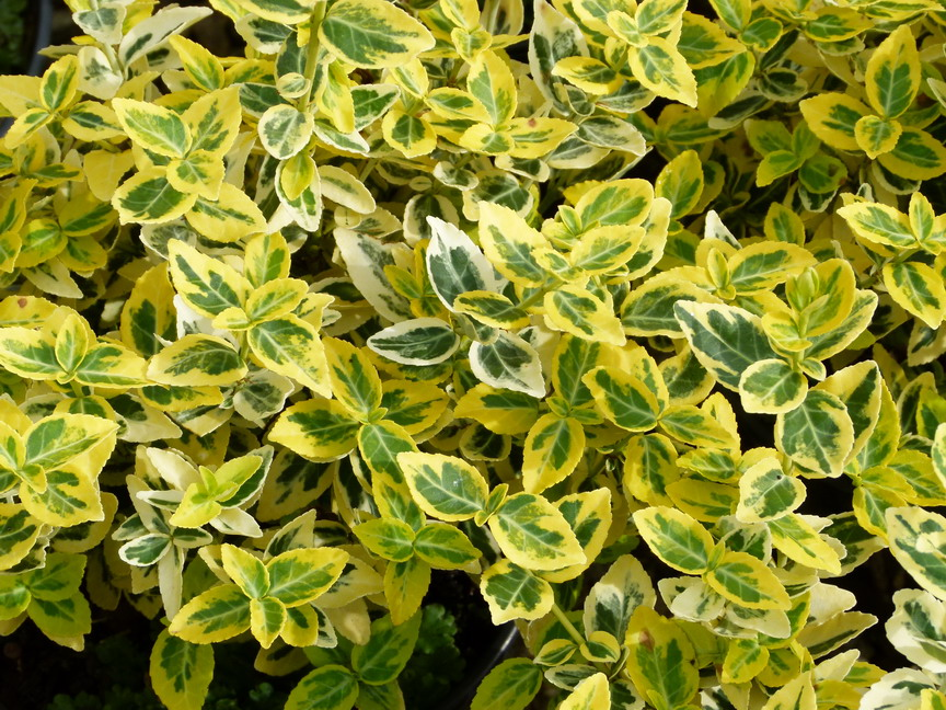 Euonymus fortunei emerald and gold fusain de fortune for Plante en ligne