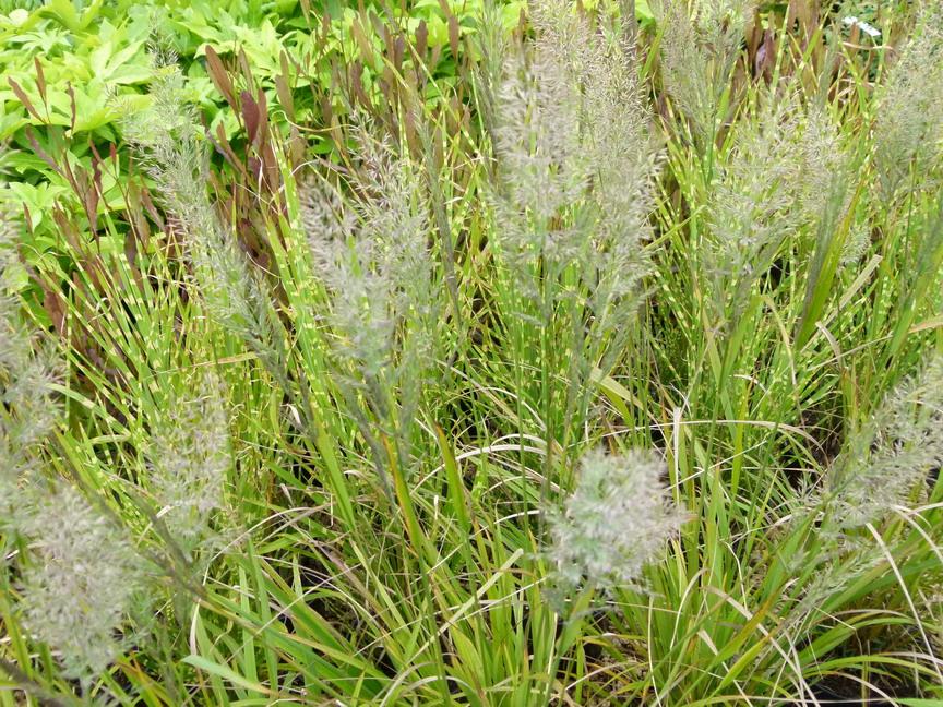 Calamagrostis brachytricha calamagrostis brachytricha for Commande de plantes en ligne