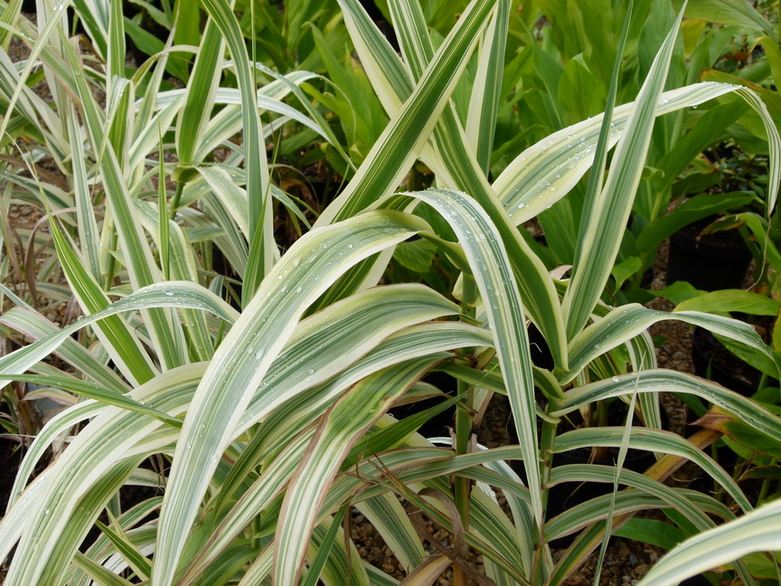Arundo donax variegata canne de provence panach e for Site de plante en ligne