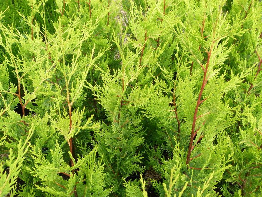Cupressocyparis leylandii excalibur gold cypr s de - Plantation cypres de leyland ...