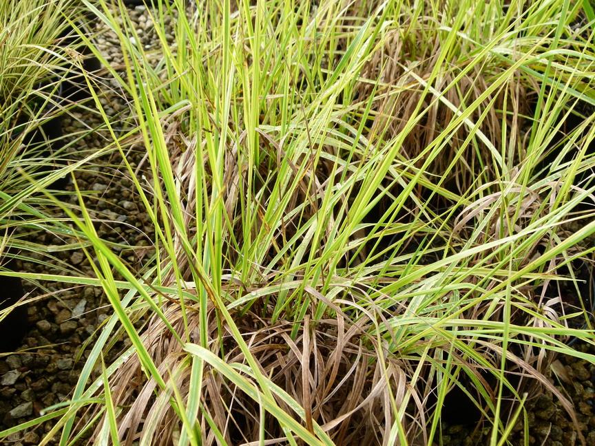 Alopecurus pratentis aureovariegatus vulpain des pr s for Site de plante en ligne