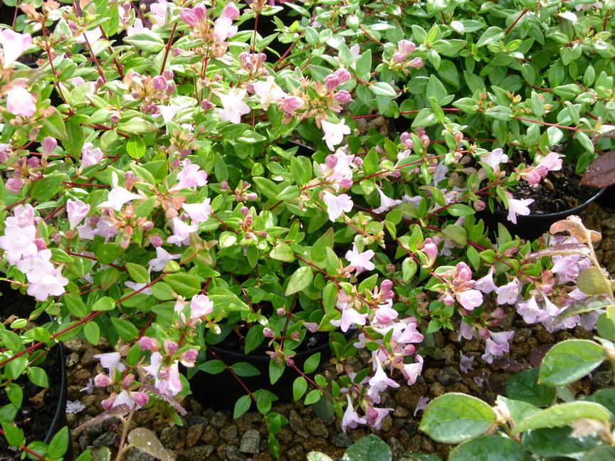 Abelia petite garden ab lie petite garden p pini re for Site de plante en ligne