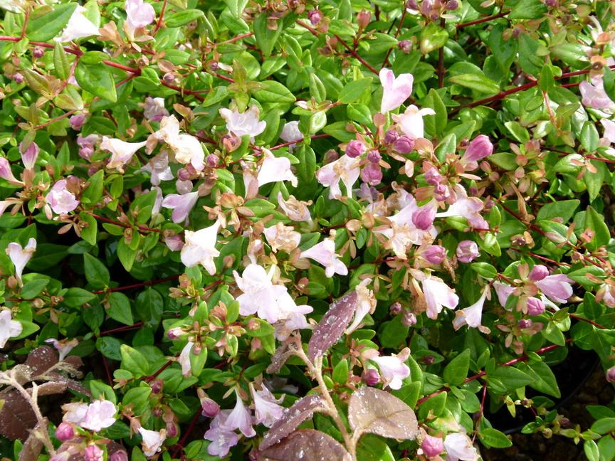 Pourpier d ornement abelia petite garden with pourpier d for Plantes d ornement exterieur