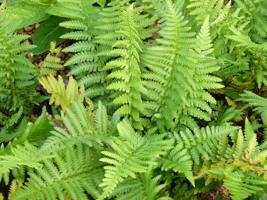 Dryopteris filix mas foug re m le p pini re en ligne for Site de plante en ligne