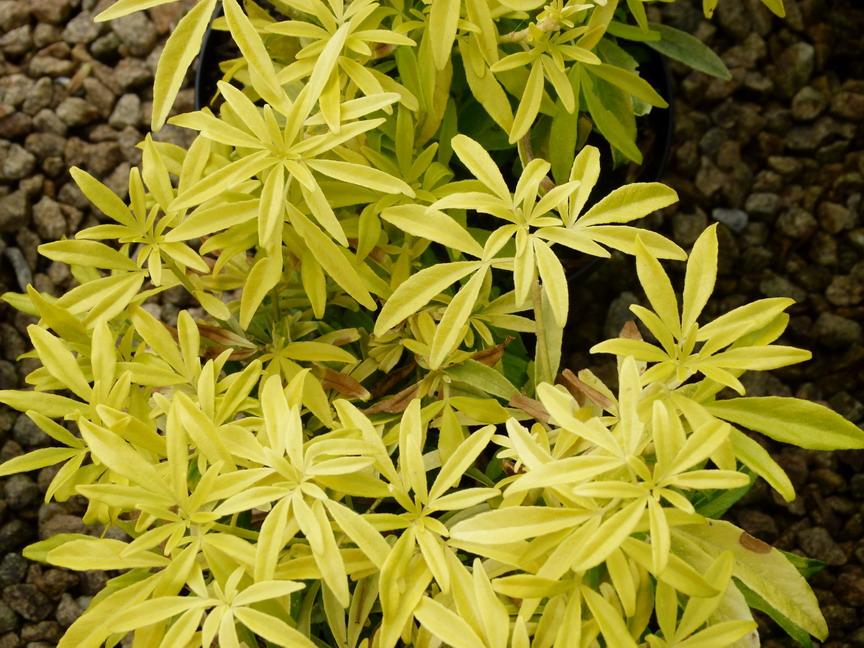 Choisya ternata goldfinger oranger du mexique goldfinger p pini re en ligne de kerzarc 39 h - Oranger du mexique taille ...