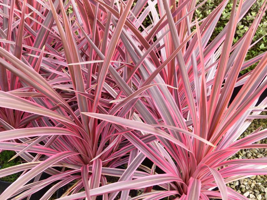 cordyline australis sunrise palmier de nouvelle z lande sunrise p pini re en ligne de kerzarc 39 h. Black Bedroom Furniture Sets. Home Design Ideas