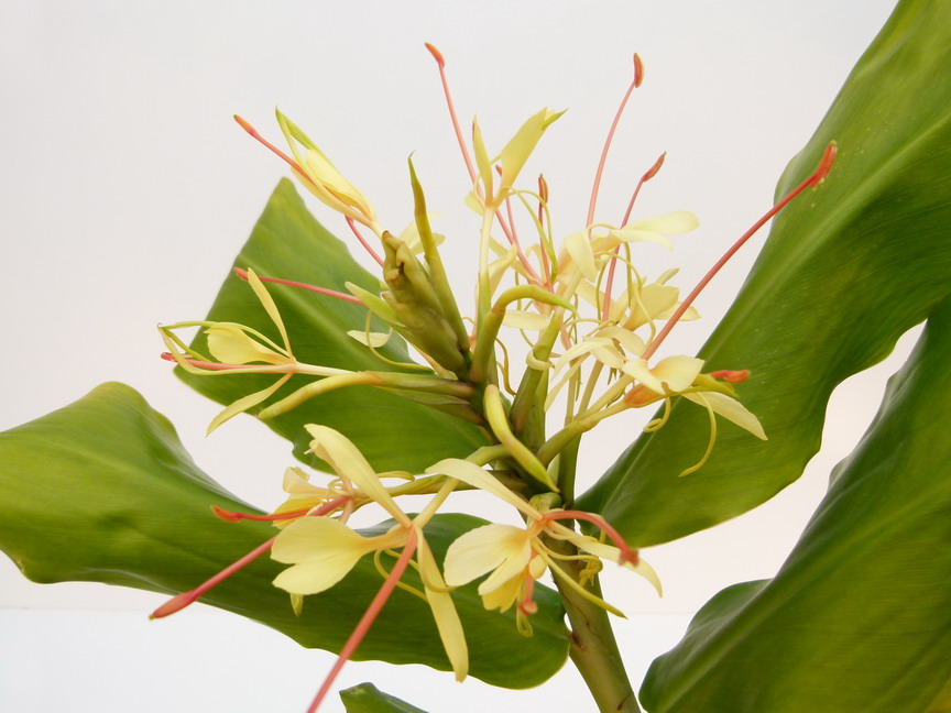 Hedychium gardnerianum longose kahili ginger for Site de vente de plantes en ligne
