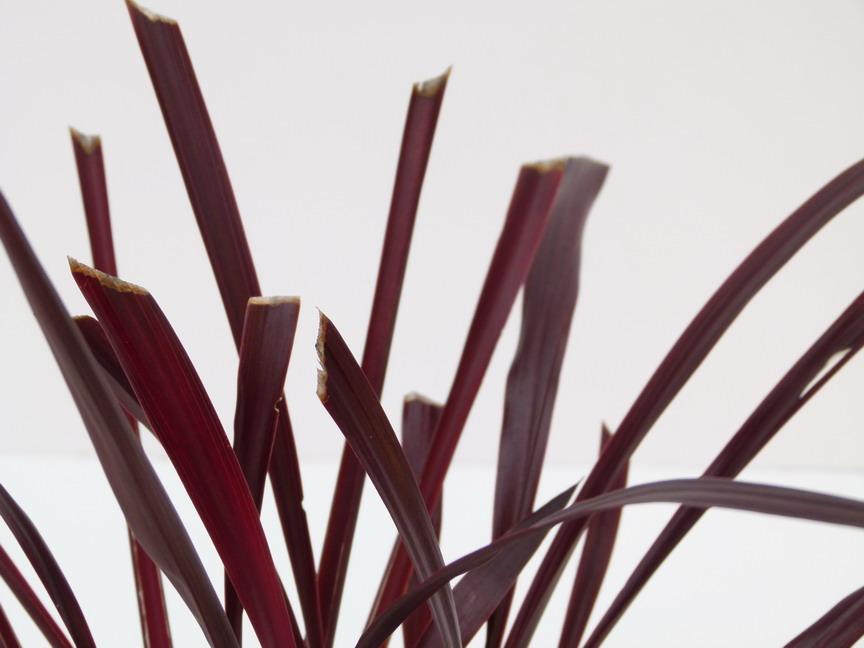 cordyline australis festival grass palmier de nouvelle z lande festival grass p pini re en. Black Bedroom Furniture Sets. Home Design Ideas