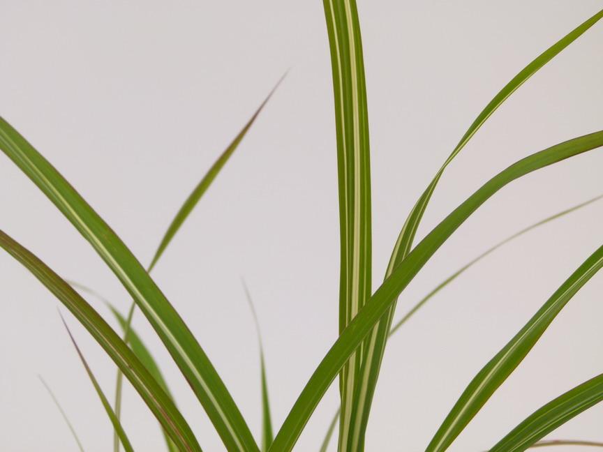 Miscanthus sinensis cabaret eulalie roseau de chine for Commande de plantes en ligne