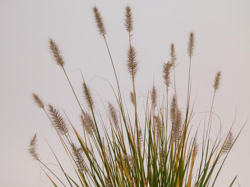 Pennisetum alopecuroides hameln herbe aux couvillons for Commande de plantes en ligne