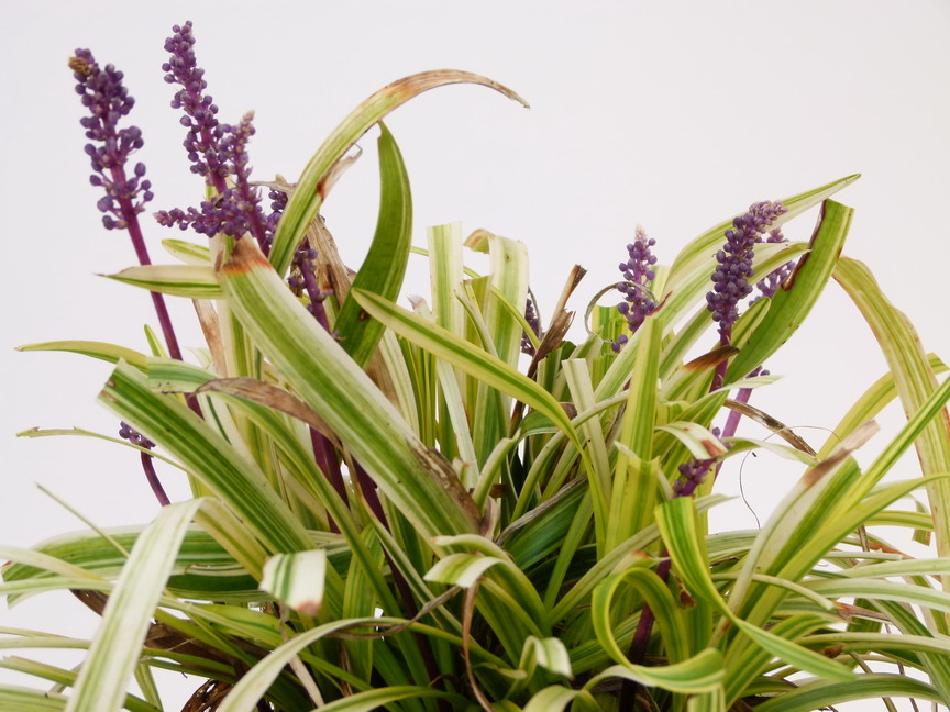 Liriope muscari gold banded liriope gold banded for Commande de plantes en ligne