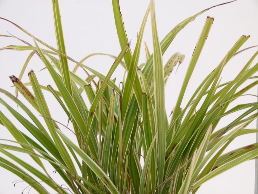 Plantes vari es floraison violette p pini re en ligne for Commande de plantes en ligne