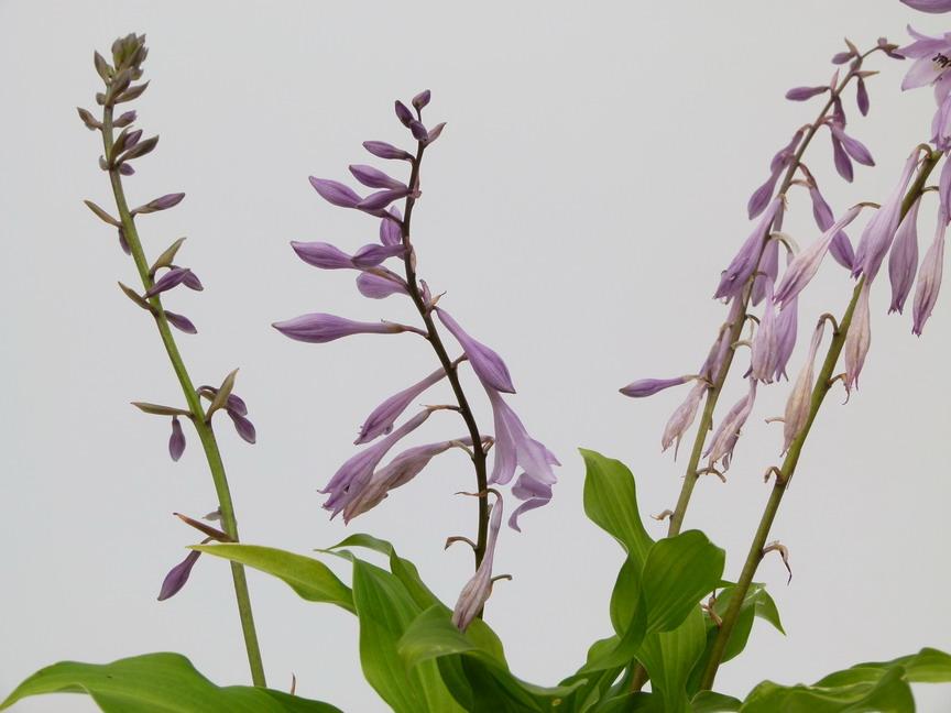 Hosta fortunei hosta feuillage vert p pini re en for Commande plante en ligne