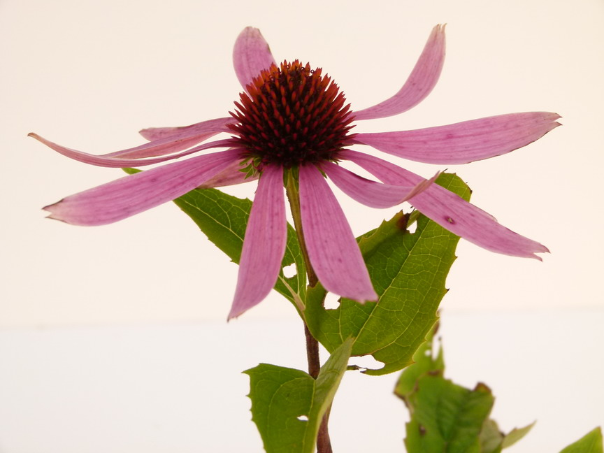 Echinacea purpurea rudbeckia p pini re en ligne de for Site de vente de plantes en ligne