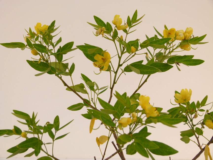 Cassia cassia floribunda p pini re en for Commande plante en ligne
