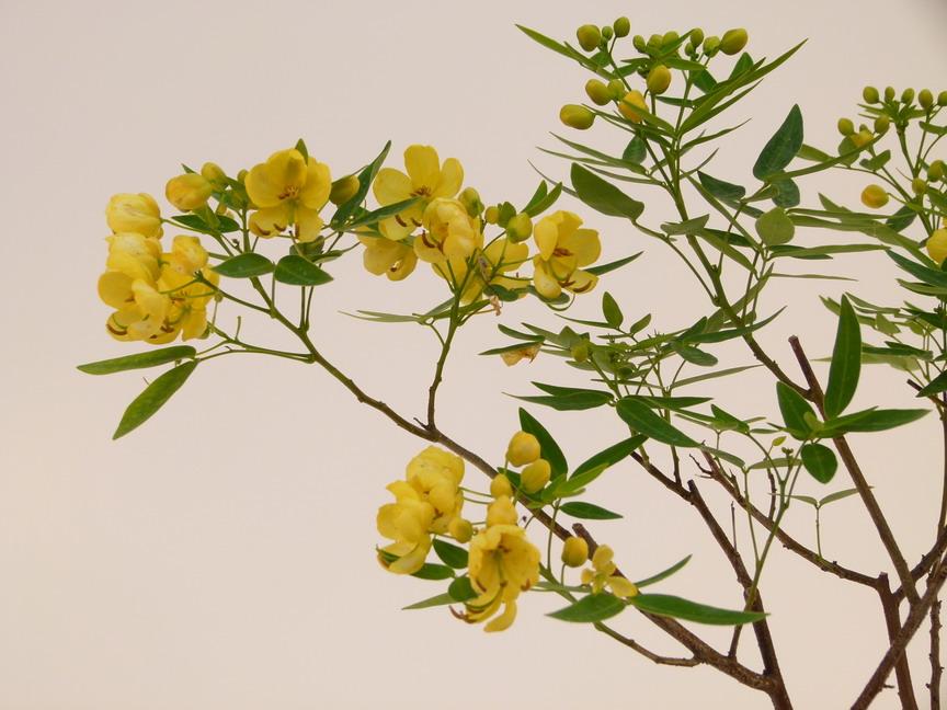 Cassia cassia floribunda p pini re en for Commande de plantes en ligne