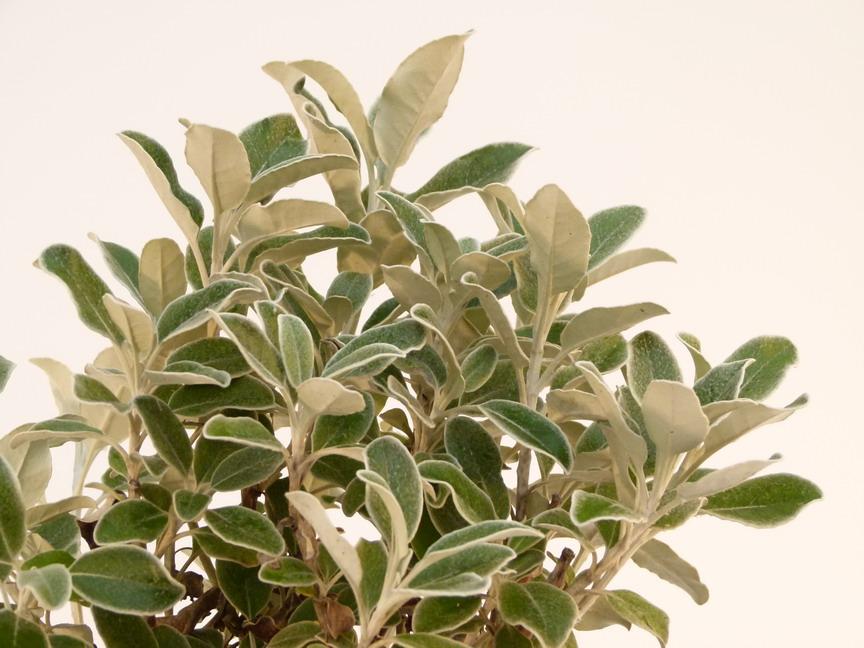 Senecio compactus drysdale s necio drysdale s ne on en for Site de vente de plantes en ligne