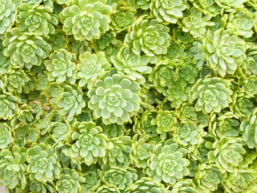 Sedum pachyclados s dum pachyclados orpin p pini re for Site de vente de plantes en ligne