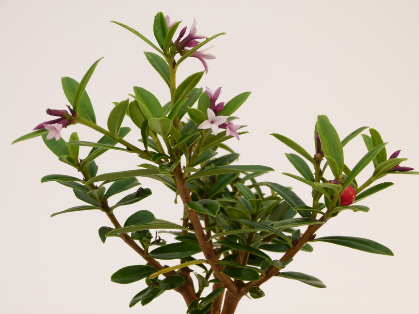 Daphne tangutica daphn e du tibet p pini re en ligne for Site de vente de plantes en ligne