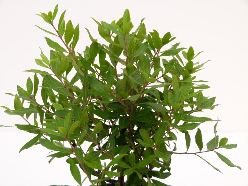 Maytenus boaria mayt ne du chili p pini re en ligne de for Commande plante en ligne