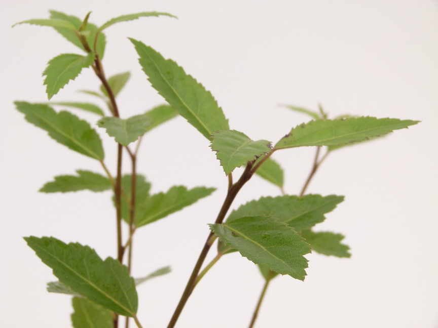 Hoheria sexstylosa stardust hoh ria stardust p pini re for Commande plante en ligne