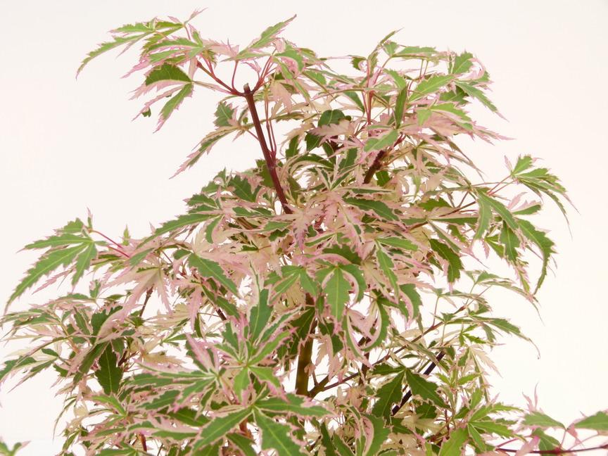 acer palmatum butterfly | erable palmatilobé, érable du japon