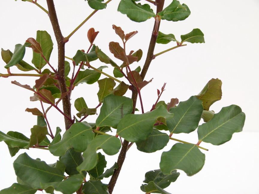 Ceratonia siliqua caroubier longues gousses carouge for Site de plante en ligne