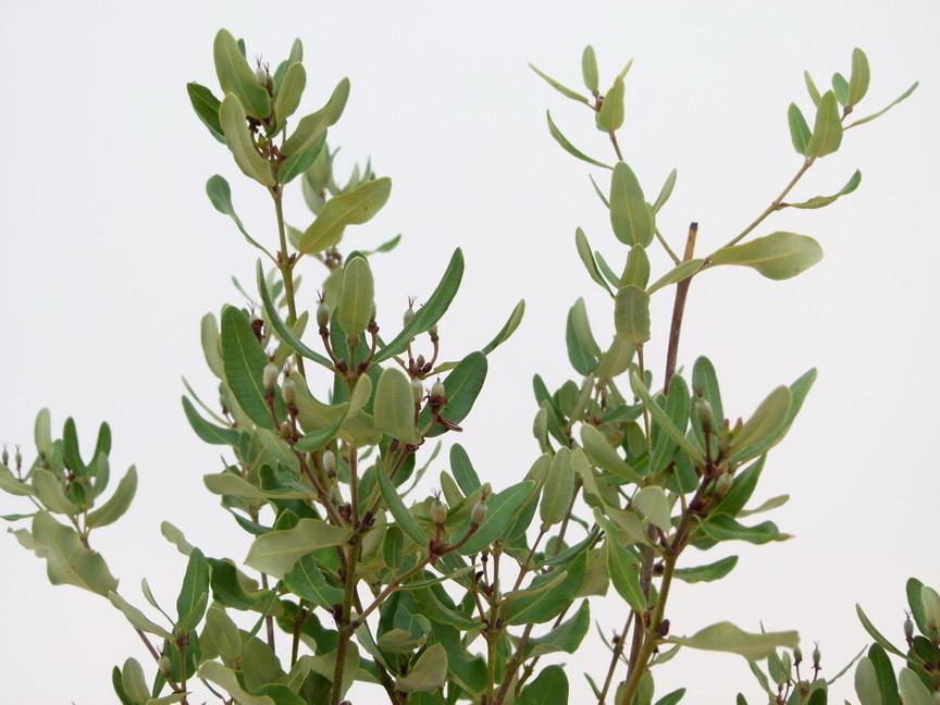 Eucryphia cordifolia eucryphia cordifolia p pini re en for Commande de plantes en ligne