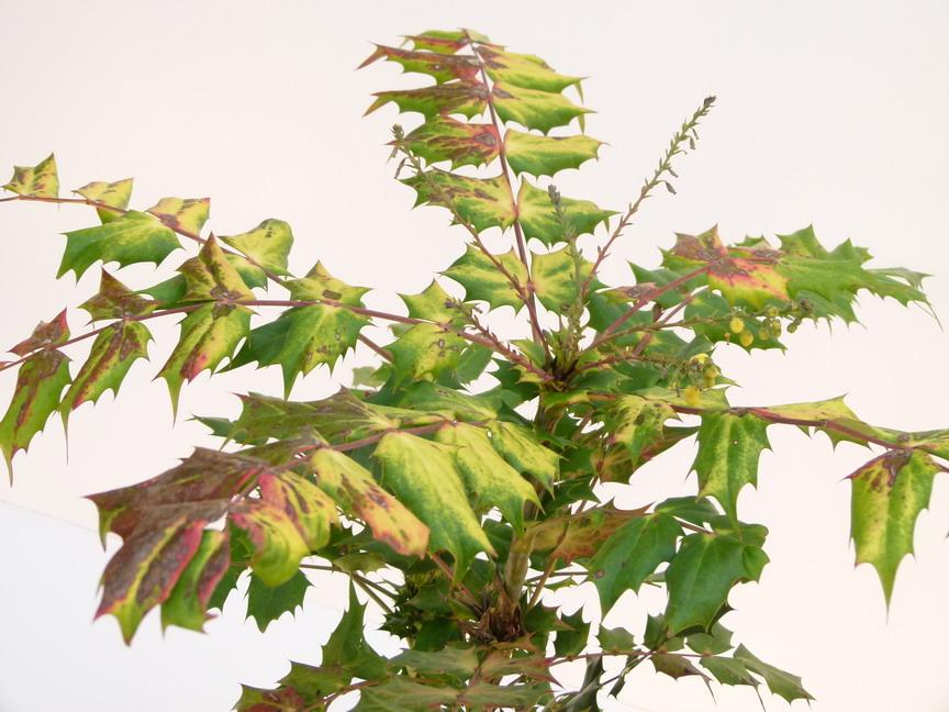 Mahonia bealei mahonia bealei p pini re en ligne de for Commande plante en ligne