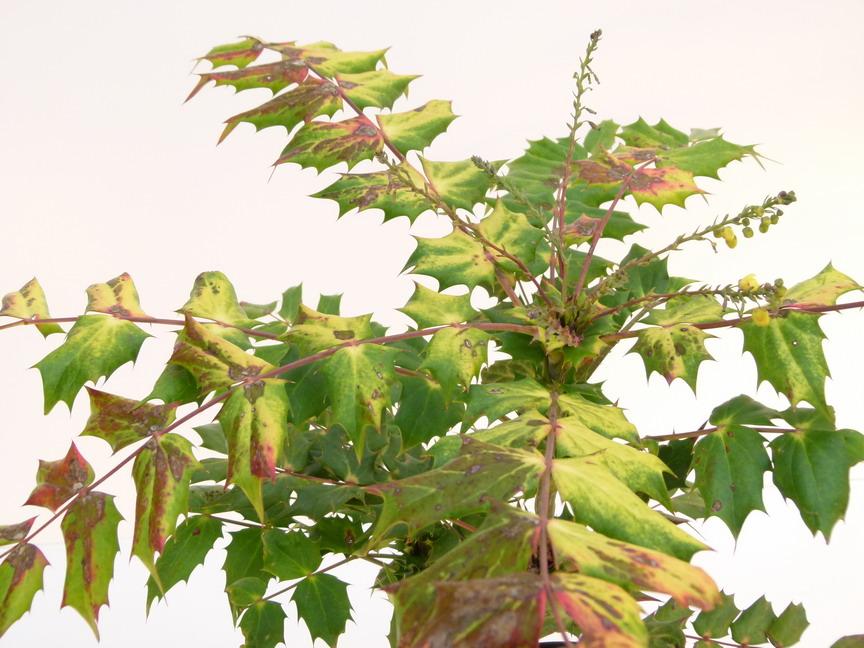Mahonia bealei mahonia bealei p pini re en ligne de for Commande de plantes en ligne