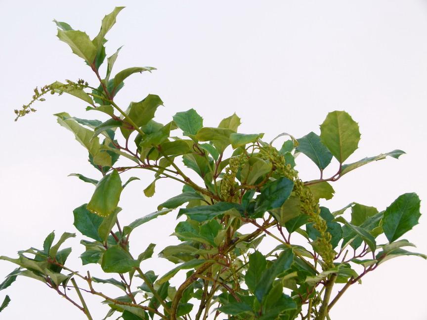 Itea ilicifolia it a ilicifolia p pini re en ligne de for Commande de plantes en ligne