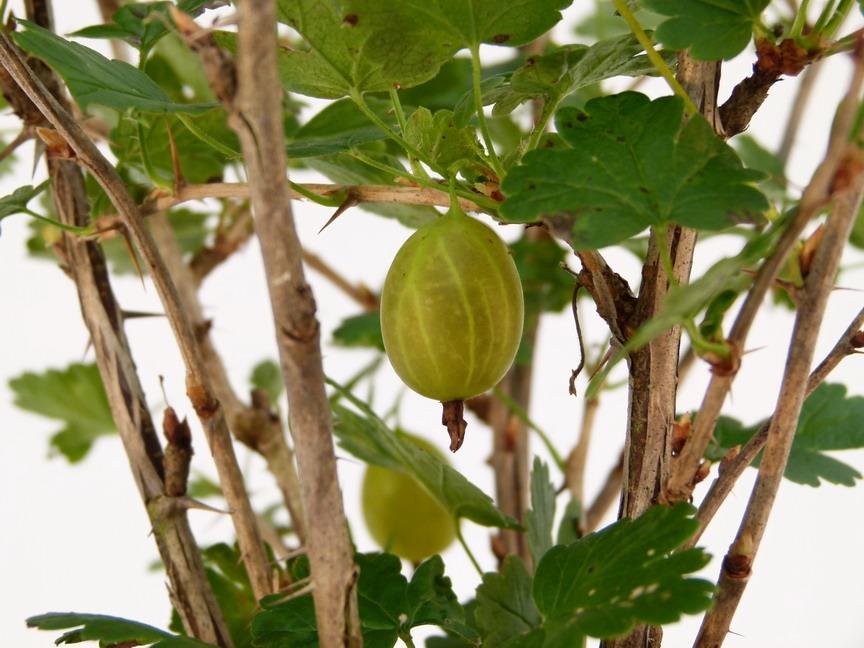 Groseillier maquereaux hinnonm ki jaune groseillier for Commande plante en ligne