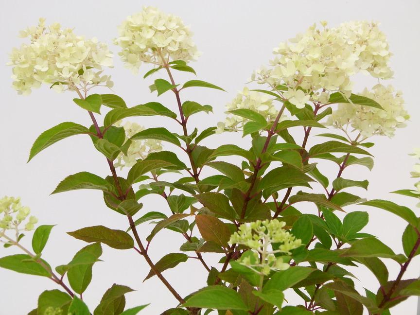 Hydrangea paniculata limelight hortensia panicul for Site de vente de plantes en ligne