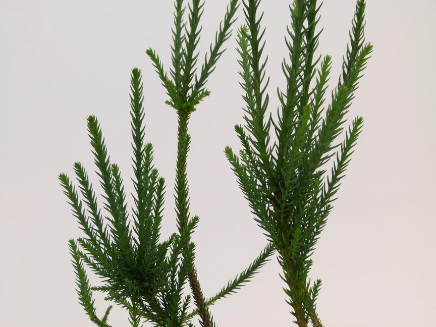 Cryptomeria japonica araucarioides c dre du japon for Site de plante en ligne