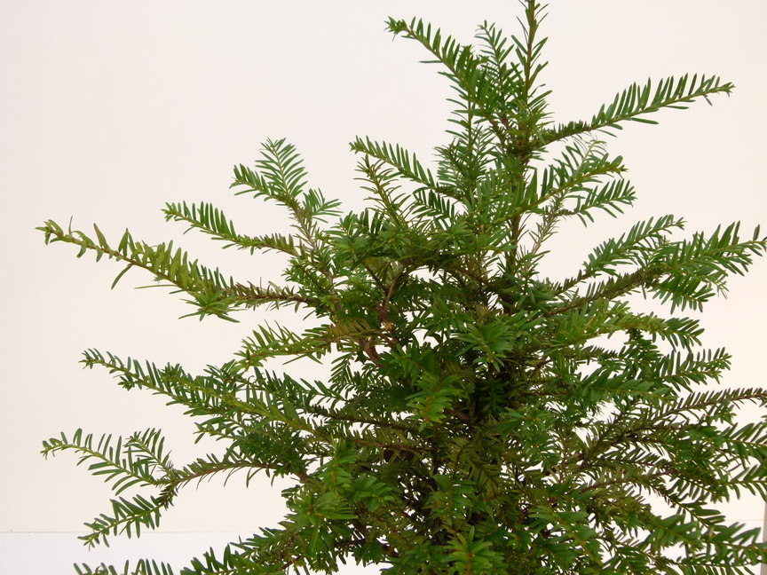 Taxus baccata if commun p pini re en ligne de kerzarc 39 h for Site de plante en ligne