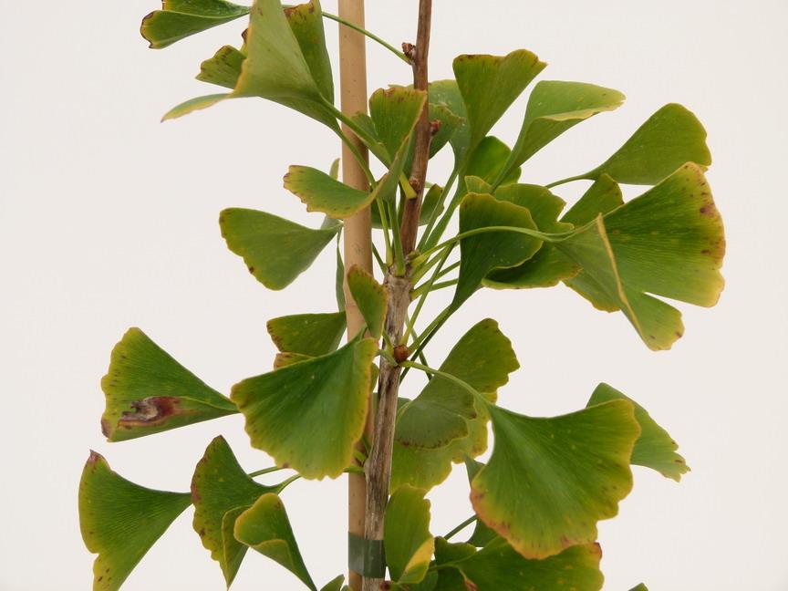 ginkgo biloba autumn gold arbre aux 40 cus autumn gold p pini re en ligne de kerzarc 39 h. Black Bedroom Furniture Sets. Home Design Ideas