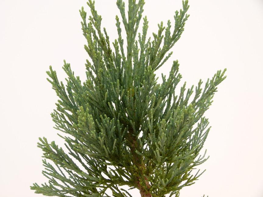 Sequoiadendron giganteum glaucum s quoia g ant de for Commande de plantes en ligne