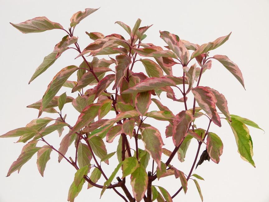Cornus alba gouchaultii cornouiller blanc gouchaultii for Commande plante en ligne