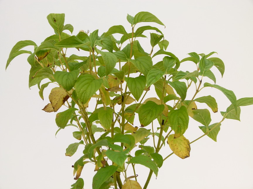 Cornus stolonifera flaviramea cornouiller bois jaune for Commande plante en ligne