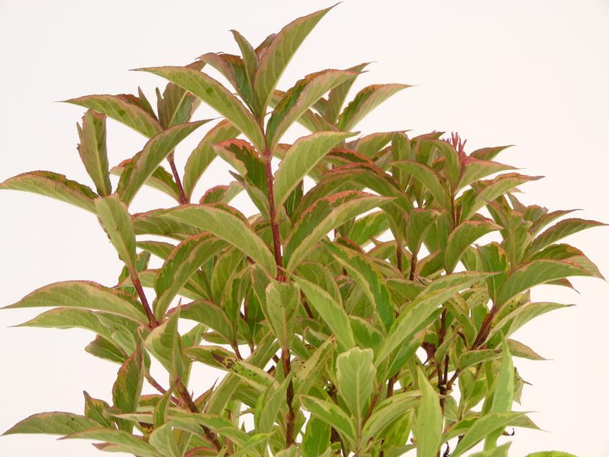 Weigelia brigela weigelia brigela p pini re en ligne for Commande plante en ligne
