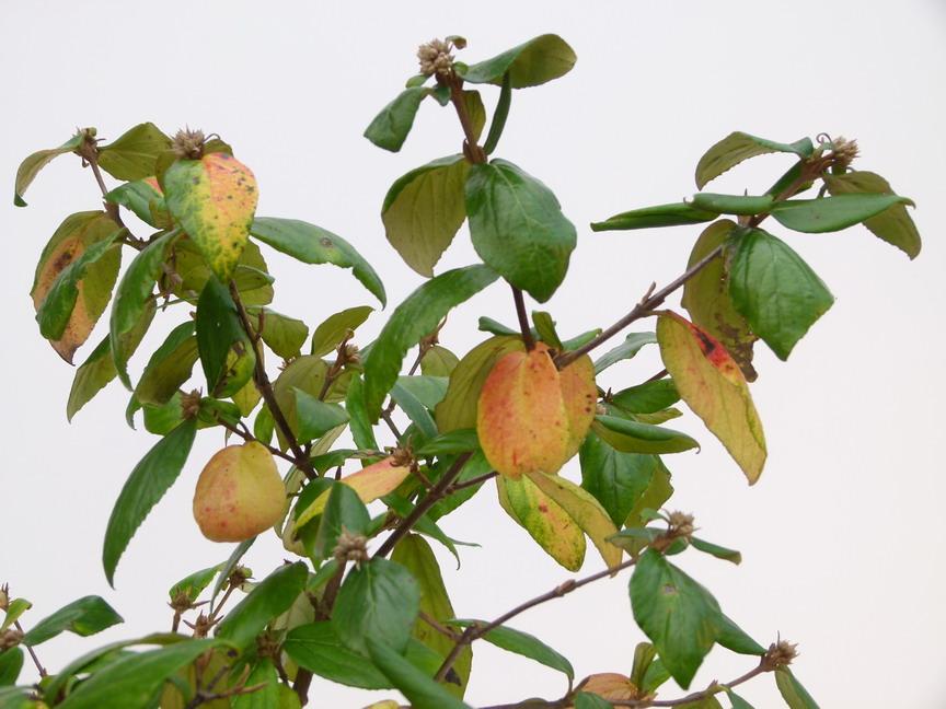 Viburnum viburnum burkwoodii p pini re en for Commande plante en ligne